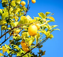 Lemon tree and blue sky by 7horses