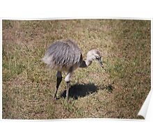 Baby Ostrich Poster