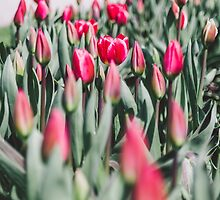 Red Tulips by PatiDesigns