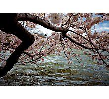 Cherry Blossom Branches Near the Potomac River: Blue-Pink-Aqua Photographic Print