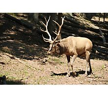 Elk side Photographic Print