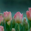 Pink Tulips by pulsdesign