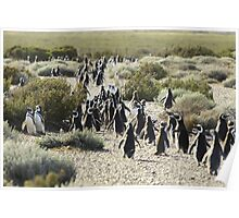 Magellanic penguins at the Poster
