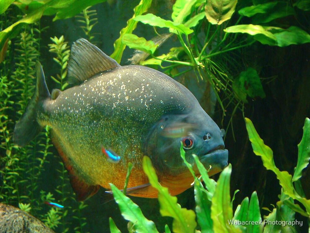 Piranha by Jocelyne Phillips