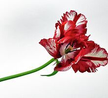 Tulip by Eduard Gorobets