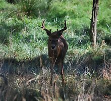 Deer - Buck by sarahshanely