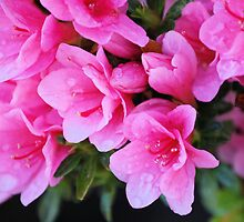Azalea After the Rain by xPressiveImages