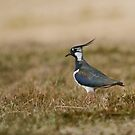 Green Plover by Jamie  Green