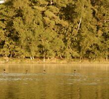 Seven Loons in Wisconsin by backdoor