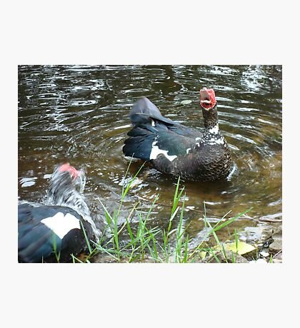 LAUGHING OUT LOUD (LOL) - DUCK STYLE Photographic Print