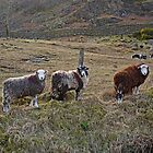 Three Fleeces by Kat Simmons