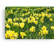 A Field Of Spring Daffodils Canvas Print