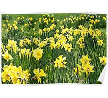 A Field Of Spring Daffodils Poster