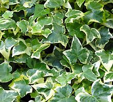 "The variegated foliage of ivy Hedera Helix ""Goldchild"" by Philip Mitchell"