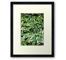 "The variegated foliage of ivy Hedera Helix ""Goldchild"" Framed Print"
