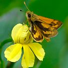 Grass Dart on Goodenia by Christopher Clarke