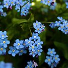 Forget-me-nots by shakey