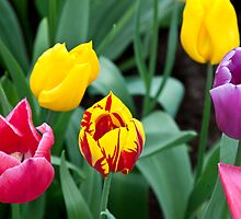 Mixed Tulips by tdako