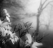 dogwoods in the fog by dc witmer