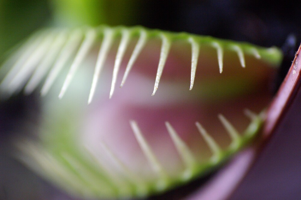 Venus Fly Trap, Close-up by jazochromatic