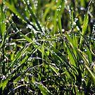 Dew by Paul O'Neill