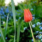 Tulip in my garden by Daniel Barnett