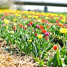 Rows of Tulips by bchai