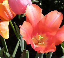 Tulip Blooms by DArtScapesDbyD
