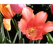 Tulip Blooms Photographic Print
