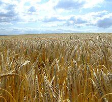 Fields of Gold by Julie Short
