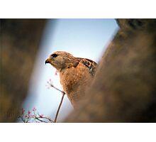 Peeking at the Hawk Photographic Print