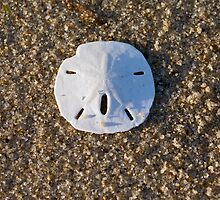 Cape Cod Sand Dollar by Christopher Seufert