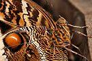 Owl Butterfly by Jo Nijenhuis