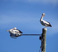 Pelican Composition - Pelicans Sticker Greeting Card by deanworld