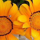 Two Orange Gazania Flowers with Snail by taiche