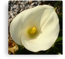 Single Cream White Calla Lily With Garden Background Canvas Print