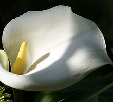 White Calla Lilies Over Black Background In Soft Focus by taiche