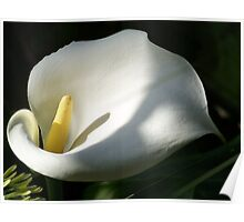 White Calla Lilies Over Black Background In Soft Focus Poster