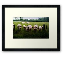 Cows in the countryside Framed Print