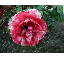 Red & White Rose Photographic Print