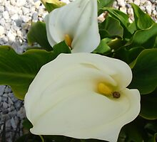 Overhead View Of Two Calla Lilies In A Garden by taiche