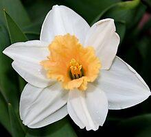 Daffodil  by AnnDixon