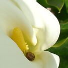 Beautiful Calla Flower On Green Natural Background  by taiche