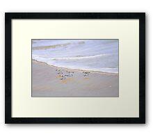 Baby Sanderlings Framed Print