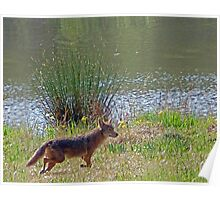 Coyote Visitor II Poster
