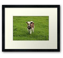 Calf in a Pasture Framed Print