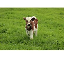Calf in a Pasture Photographic Print