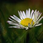 Just a Daisy by SarahSchloo