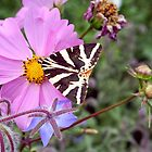butterfly black and white on cosmos by alixlune