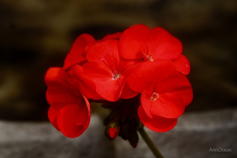 Red Geranium by AnnDixon